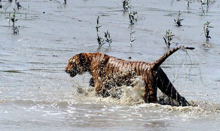 Image: A rescued tigress crosses the River Sundarikati