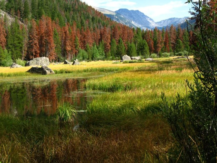 Dead, reddish-brown trees near Granby, Colo.,show the effects of an attack by the pine bark beetle.