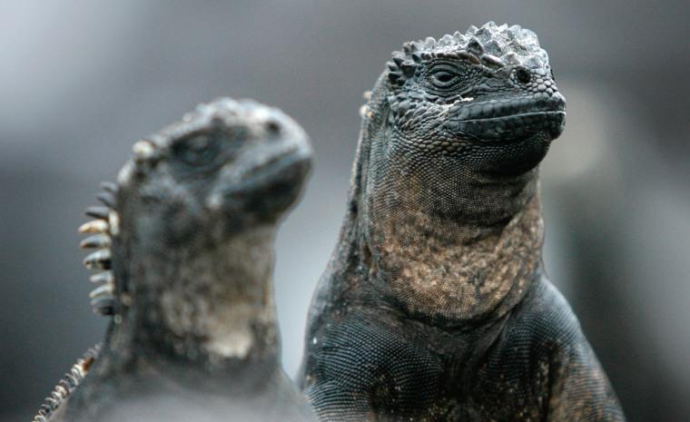Image: Land iguanas at Galapagos National Park