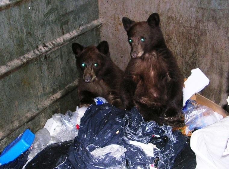 Black bear cubs 'Dumpster dive' in Nevada's Lake Tahoe region.