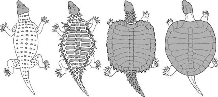 Image: Turtle shell evolution