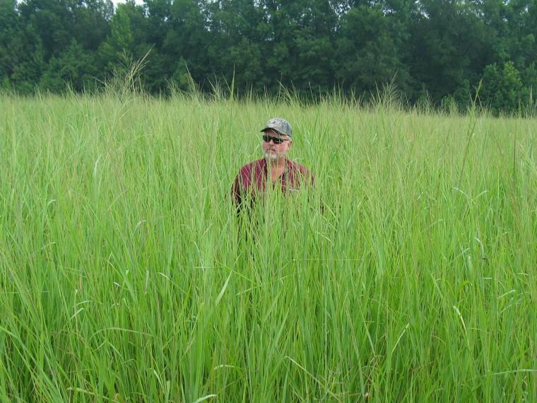 Mature switchgrass growsat the University of Tennessee's research center inMilan, Tenn.