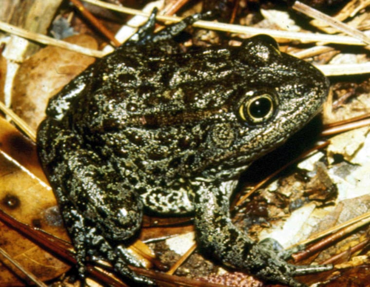 AMississippi gopher frog is shown in Harrison County, Miss A new breeding program at the Memphis Zoo could nearly double the known population of the endangered frog species.