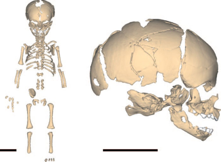 Image courtesy of National Academy of Sciences, PNAS |   No Dummy A virtual reconstruction of a Neanderthal whose skeleton suggests their brains were comparable to -- or even larger than -- those of modern humans. |
