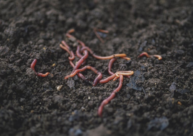 Did Someone Say 'Mole'? Scientists have proven what Charles Darwin once theorized: when worm grunters make a thumping noise in the ground, worms hightail it to the surface because they believe a mole is in pursuit.