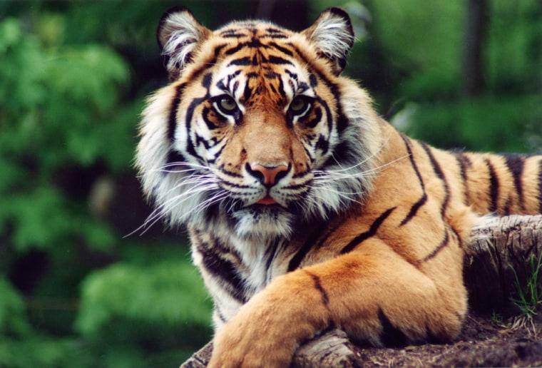 Image: Tiger