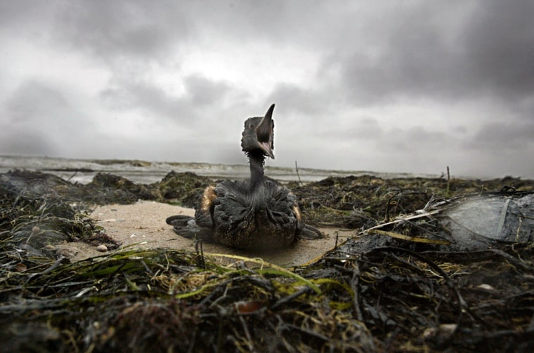 A bird covered by thick coatings of the fuel oil spill from a tanker sits helplessly in the vast clumps of oil mixed with sand and seaweed on the shore near Port Kavkaz, on the Russian Black Sea, on Tuesday.