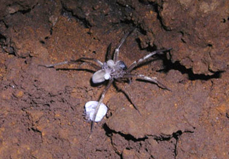 Image: A female Kauai wolf spider with babies on her back. Some wolf spiders are known to practice filial cannibalism.
