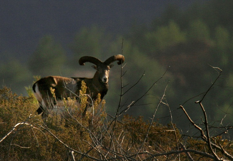 Image: A wild sheep, or mouflon, is seen near the abandoned village of Variseia