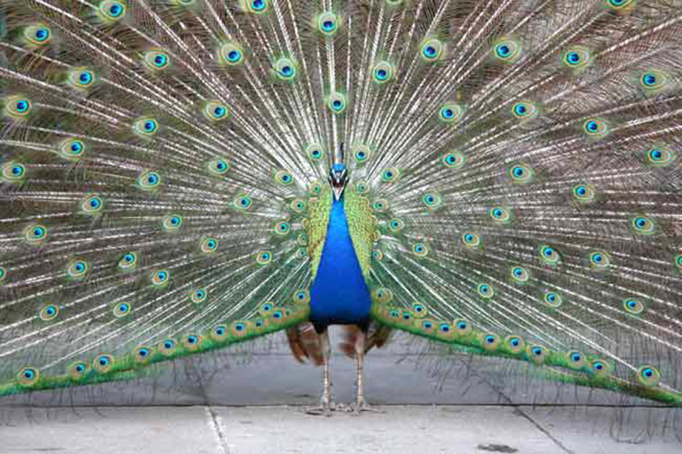 Researchers find that males can respond quicker than females to sexual selection, resulting in glitzier garbs like the male peacock's tail feather, which outshows any drab peahen.
