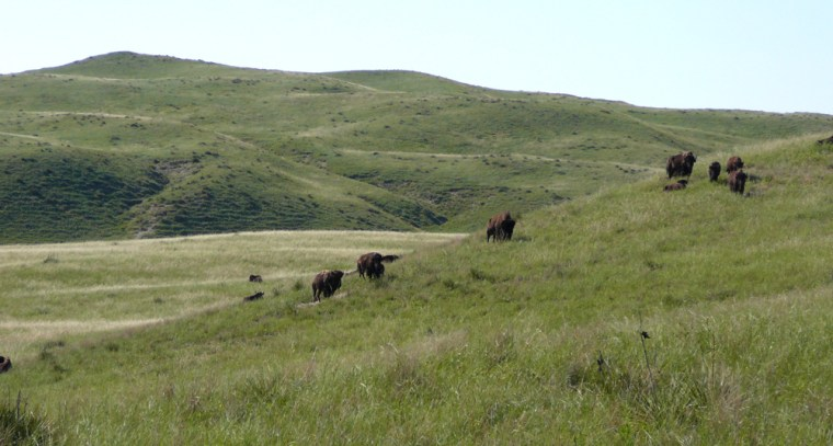 Image: buffalo her on billionaire Ted Turner's land  in Mullen, Neb.