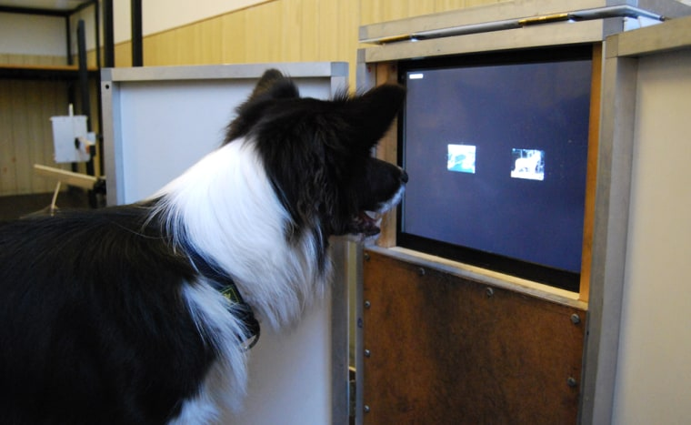 Image: Dogs use touch-screen computers to classify color photographs for a study of animal cognition.
