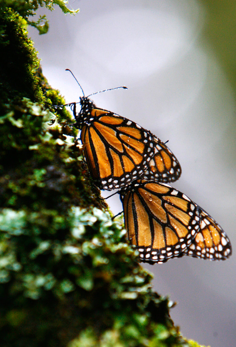 Monarch butterflies are seen on a tree at the Monarch Butterfly Biosphere Reserve in the central Mexican town of Cerro Prieto.