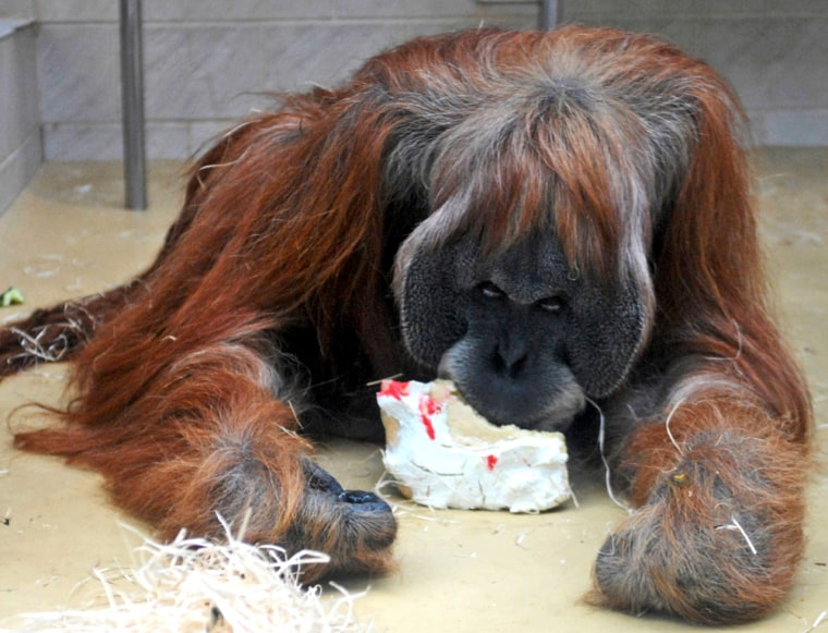Image: Orangutan Charly eats his birthday-cake at the zoo in Frankfurt, Germany