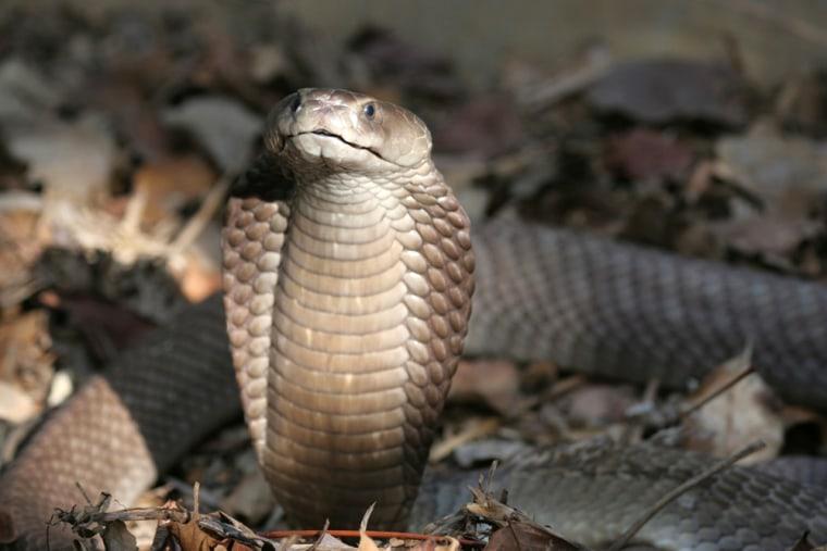 Image: The Naja Ashei, a new species of spitting cobra in Kenya.