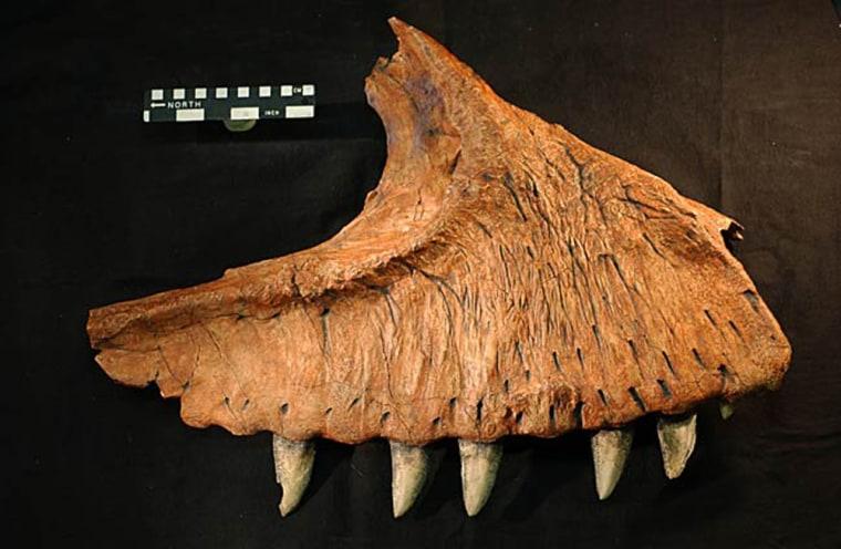 Image: Dinosaur jaw