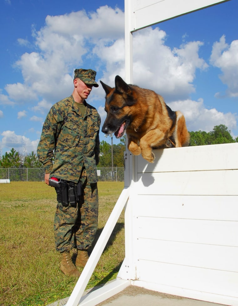 Marine dog handler Sgt. Larry Mayberry watches Lex, a military dog, train at an obstacle course at Marine Corps Logistics Base in Albany, Ga., on Wednesday, Dec. 12, 2007.Lex, an8-year-old German shepherd who was wounded in Iraq, is headed toward early retirement.