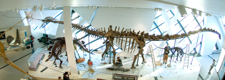 The Barosaurus skeleton is prepared for display at the Royal Ontario Museum in Toronto.