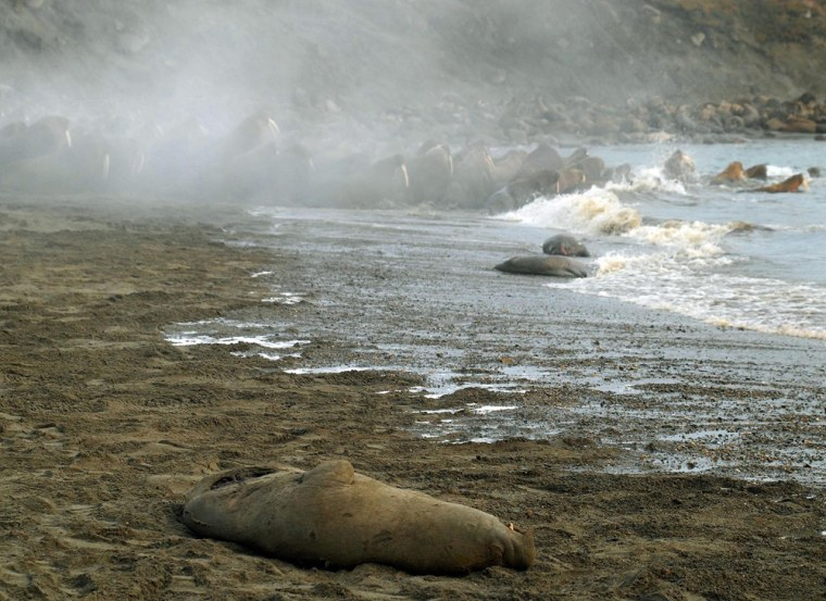 A dead walrus is evidence of a stampede last March on Russia's Cape Vankarem. Such stampedes are not uncommon, but shrinking sea ice forced even more ontocrowded beaches than usual last fall, and some 3,000 walruses were trampled to death.