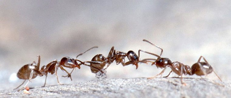 Image: Argentine ants fighting