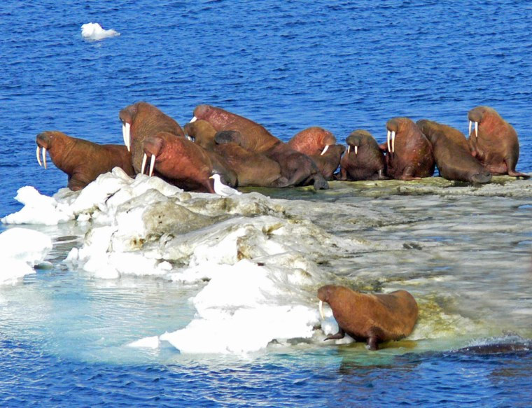 Walrus on an ice flow in the northern Bering Sea off of Alaska.