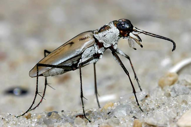 Image: An endangered tiger beetle from North America's east coast.