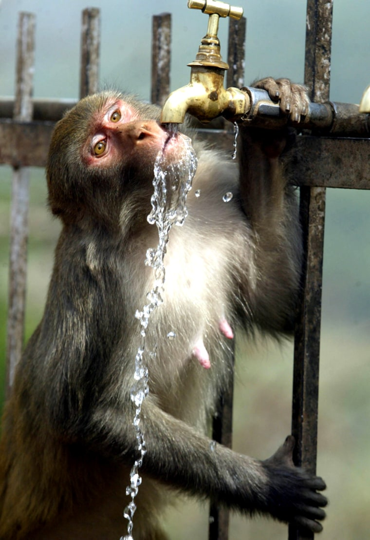 A monkey drinks from a water tap in the outskirts of Jammu, India.