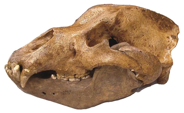 Image: Skull from the extinct Pleistocene cave bear, Ursus spelaeus.