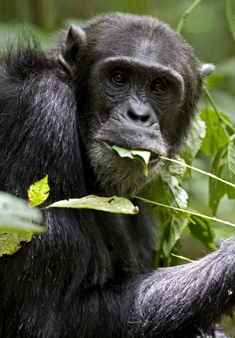 Image: Chimpanzees in the Kibale National Park in Uganda eat dirt for its health benefits.