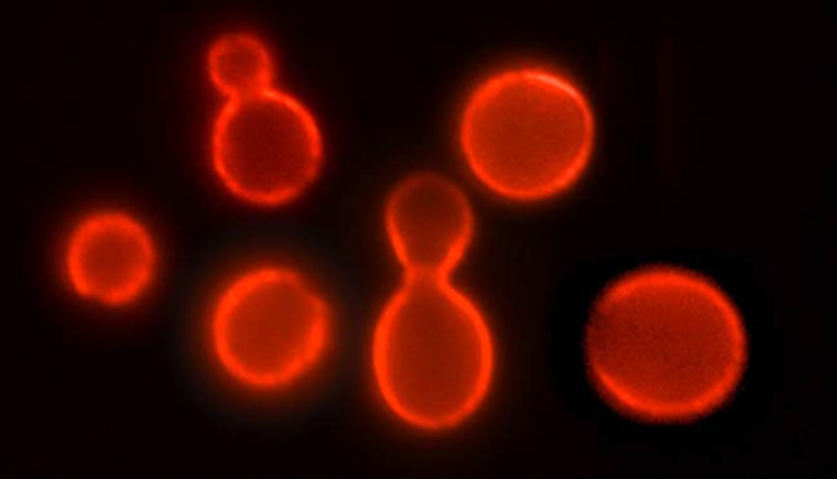 Image: Brewer's yeast, known formally as Saccharomyces cerevisiae