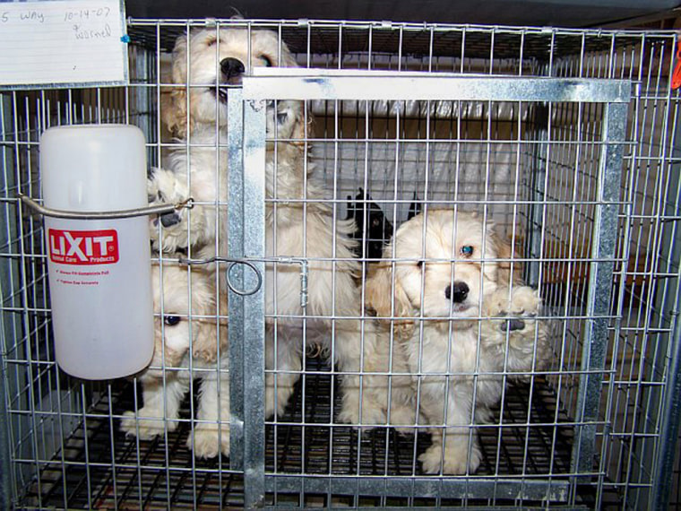 Image: In the photo provided by Carroll County, Va., three puppies that appear to be a Maltese mix share a cage on Tuesday, Nov. 6, 2007 in Hillsville, Va., at Horton's Pups, a dog breeding operation owned by Junior Horton, specializing in small breeds