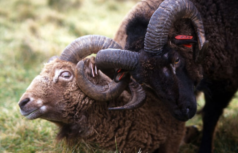 Image: Light- and dark-coated Soay rams