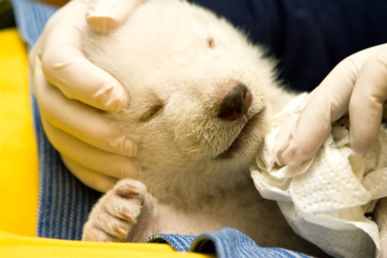 """A zookeeper at the Nuremberg zoo cleans upa baby polar bear named """"Flocke"""" on Thursday."""