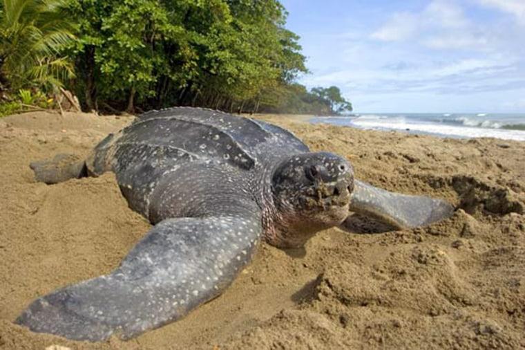 A leatherback sea turtle returns to sea in Grande Riviere, Trinidad.