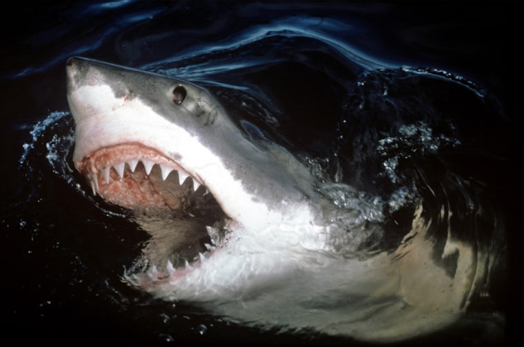 Image: A great white shark, Carcharodon carcharias