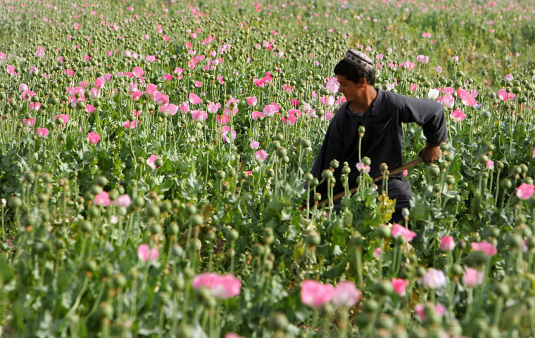 Image: Man tending poppy field in Afghanistan