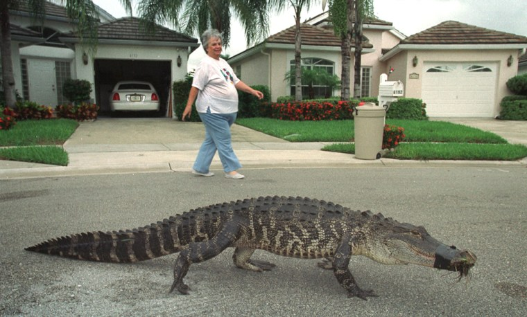 Image: A resident of a gated community in West Palm Beach, FL, watches an alligator