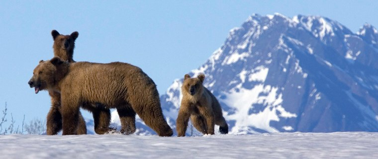 Image: A brown bear and her cubs.