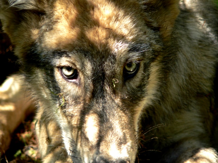 Image: Grey Wolf Pup