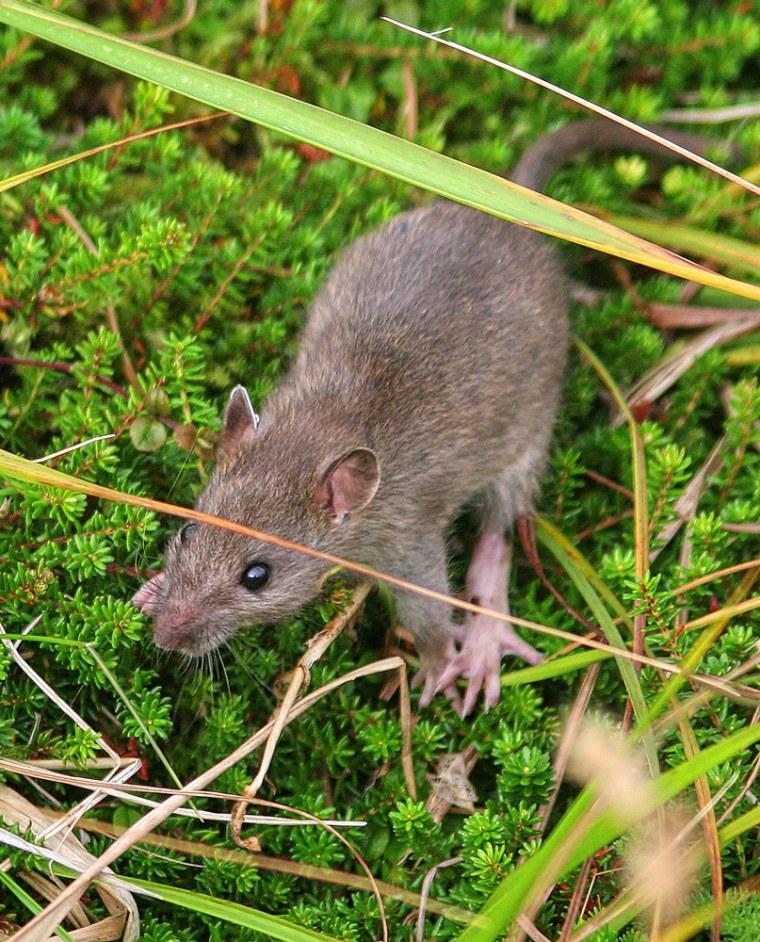 Image: Rat