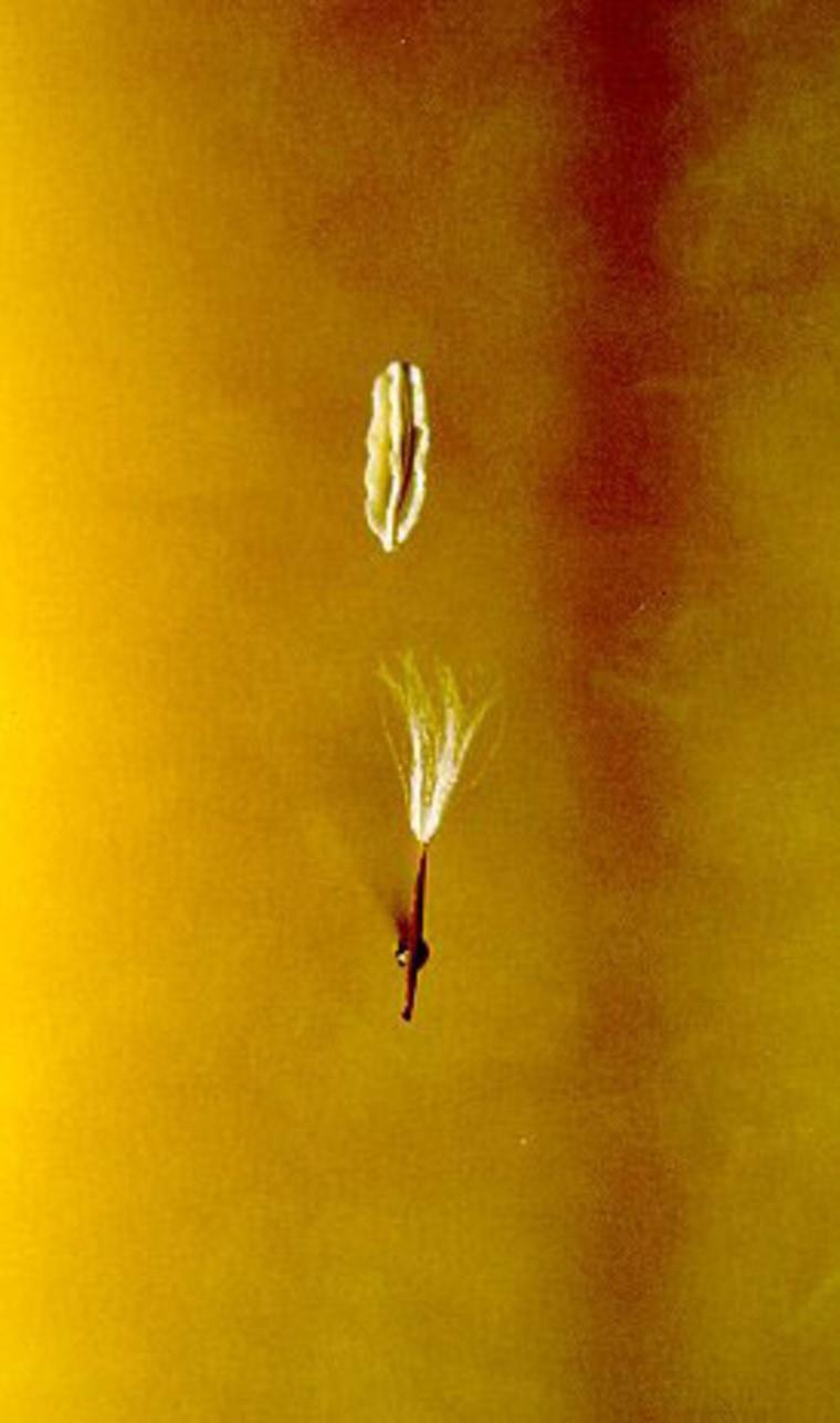 Image: Crepis sancta