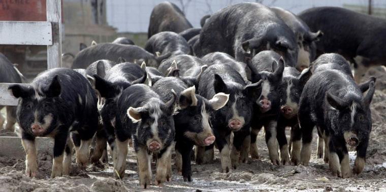 Image: Berkshire pigs