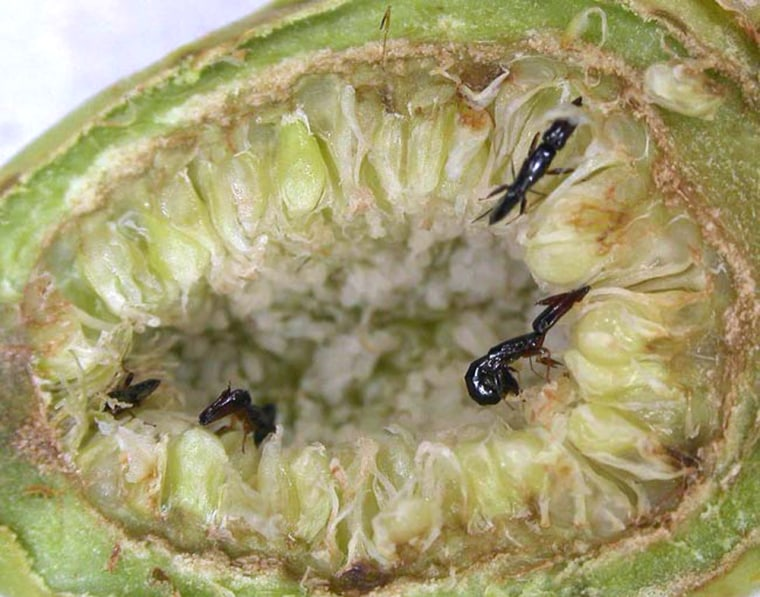Image: Pollinator wasp