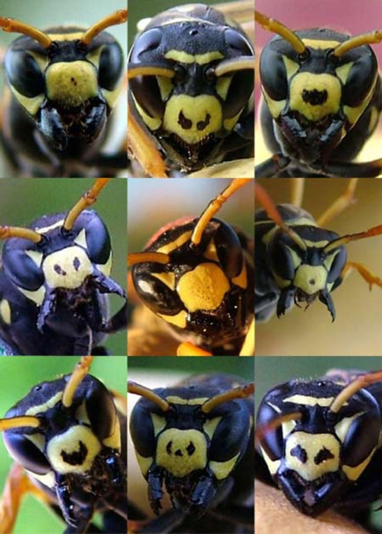 Image: Faces of paper wasps