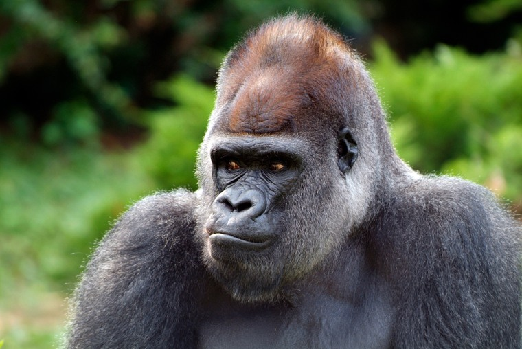 Image: Gorilla named Mopie, who died of heart failure