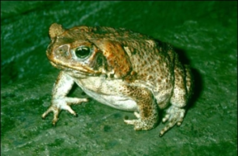 Cane toads like this one are threatening native species inQueensland, Australia.