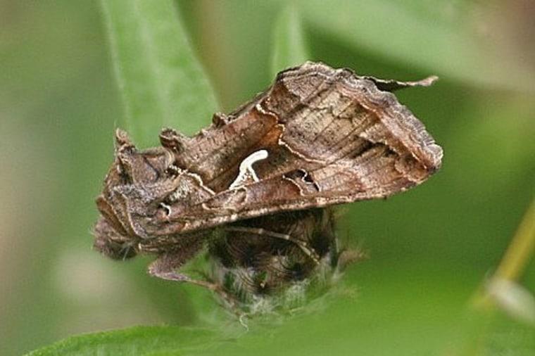 Image: Migrating moth