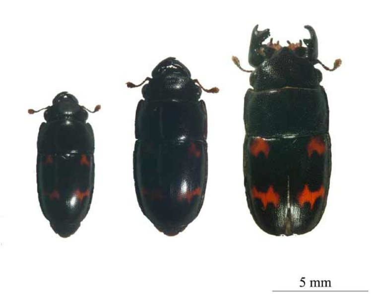 Sap beetles