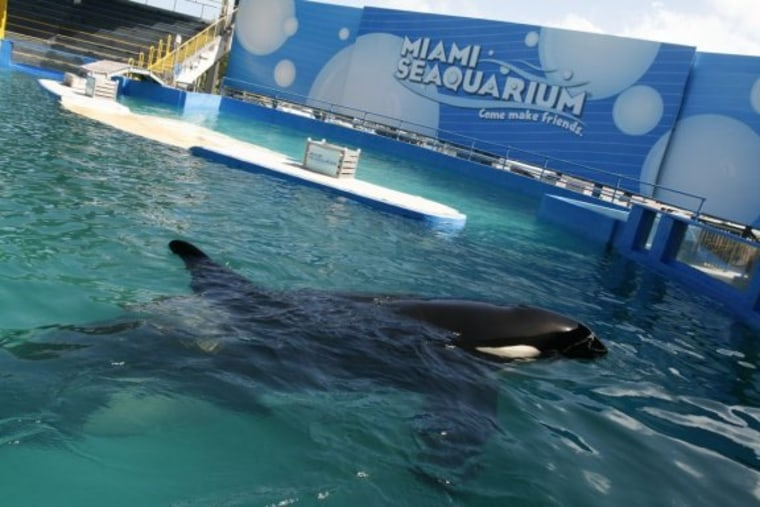 Lolita, seen insideher 20-foot-deep tank at the Miami Seaquarium, is the focus of a freedom campaign.