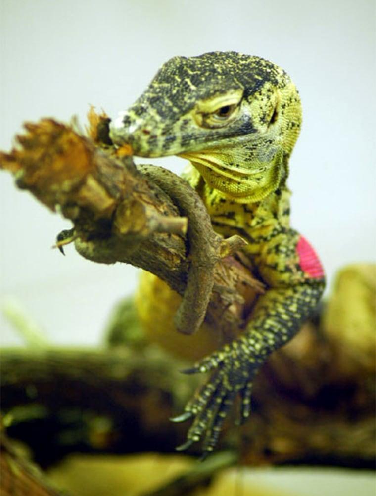 Image: Komodo dragon